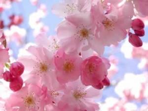 Culture du cerisier