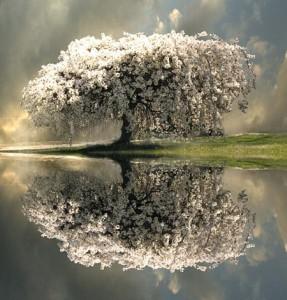 Le cerisier bio